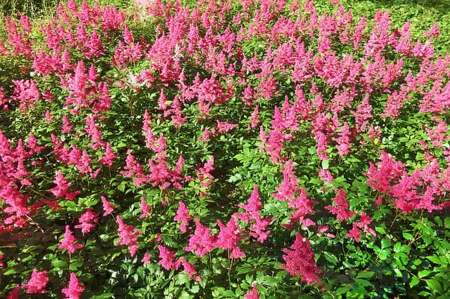 best plants to grow in shade astilbe