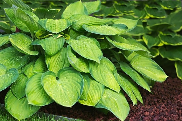 hosta - best perennial shade plants