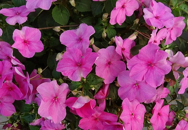 best shade annual impatiens