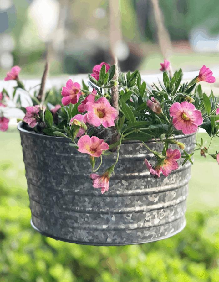 Full sun container plants calibrachoa