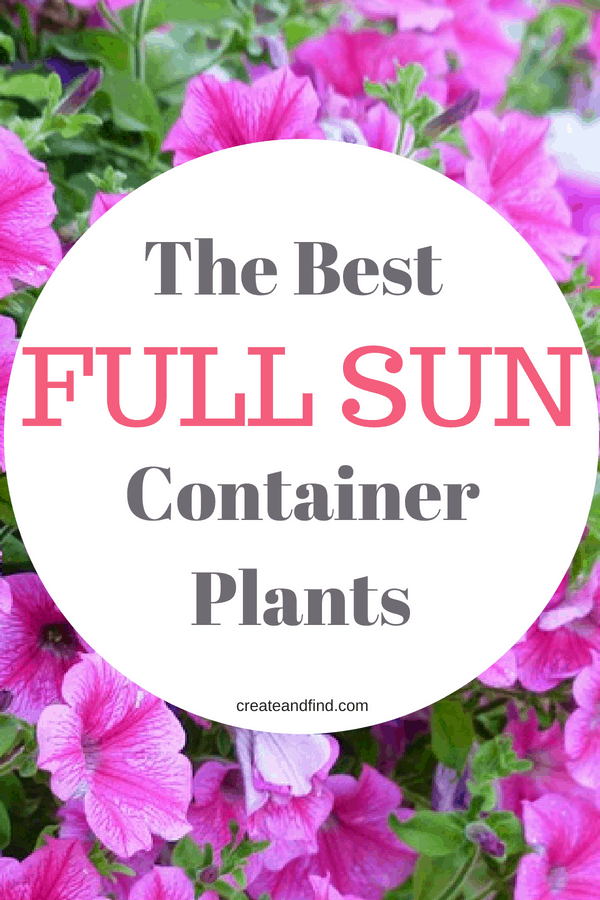 Beautiful plants for containers that love full sun. Add these varieties of plants and flowers to your hanging baskets, window boxes, and containers in sunny areas and enjoy blooms all summer #fullsunplants #containergardening #flowers #plants #gardening #flowergardening width=