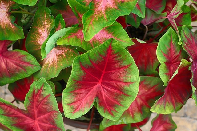 best plants to grow in shade caladium