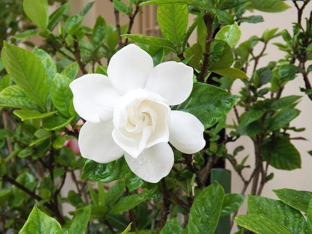 plants that grow in shade gardenia