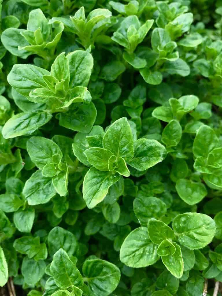 Growing Herbs - Oregano