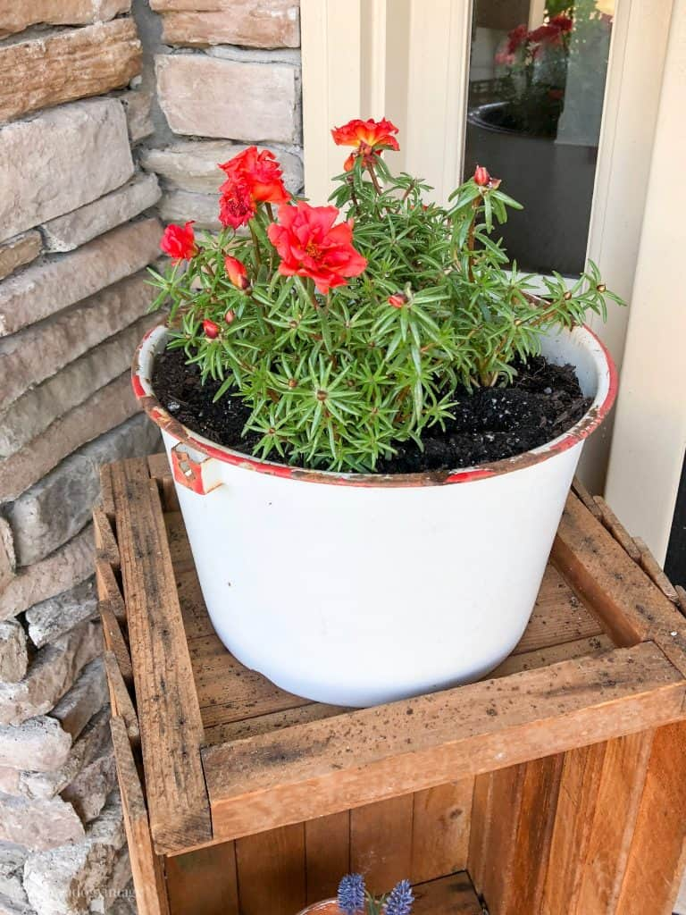 portulaca - container plants for full sun