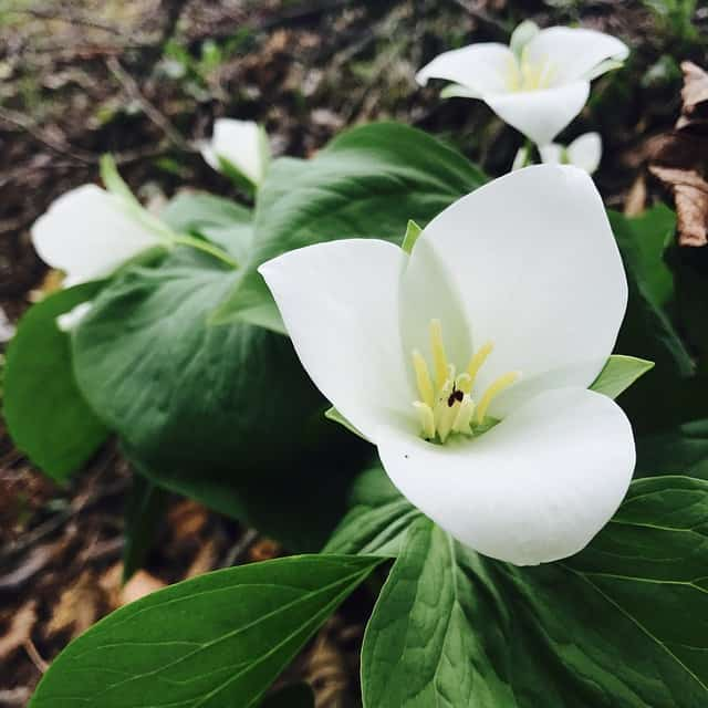 trillium plants that grow in shade