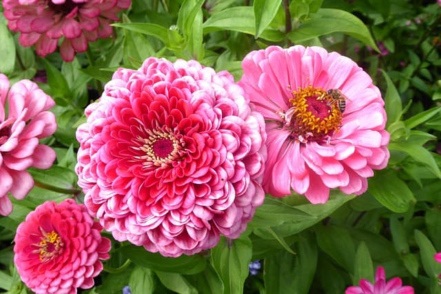 container plants that love full sun, zinnias