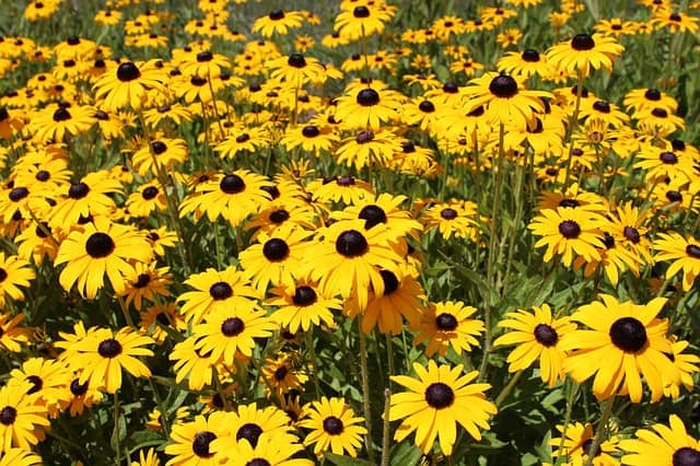 Perennials - black eyed susan