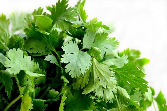 Growing Herbs - Cilantro