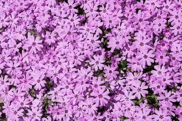 Perennial Flowers - phlox