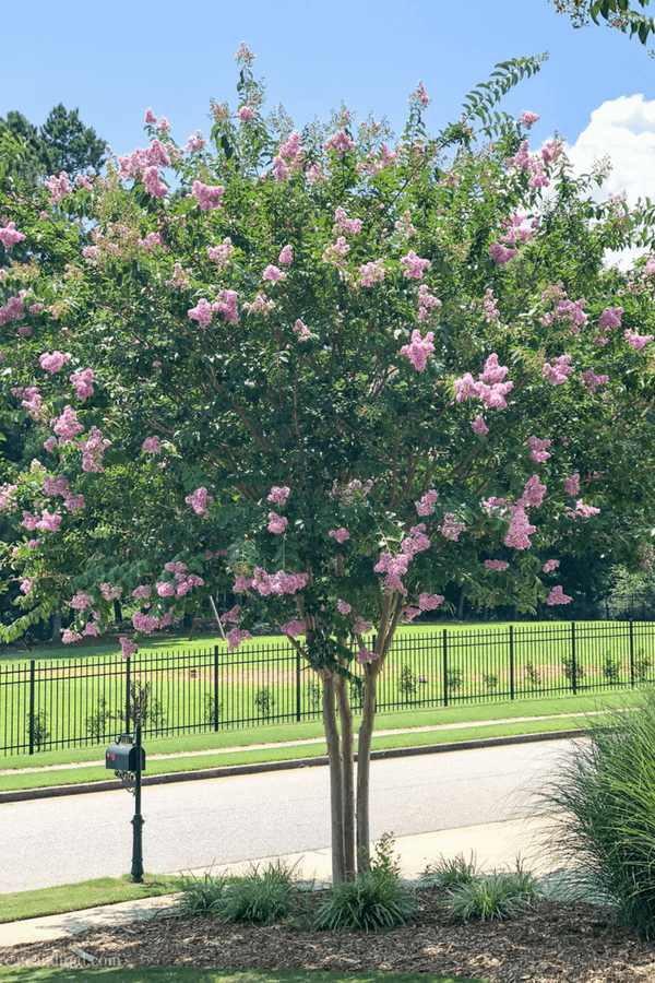 Fast Growing Privacy Trees - Crape Myrtle