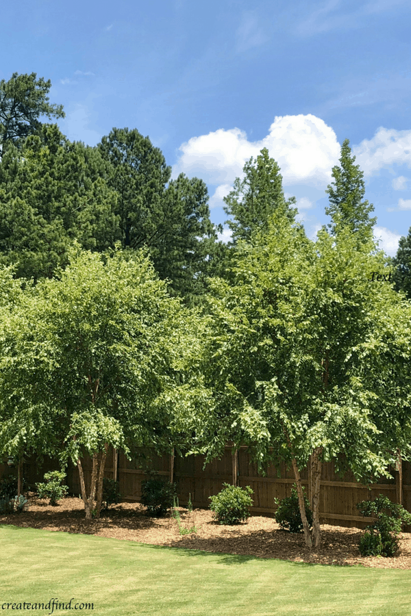 Fast growing privacy trees - River Birch
