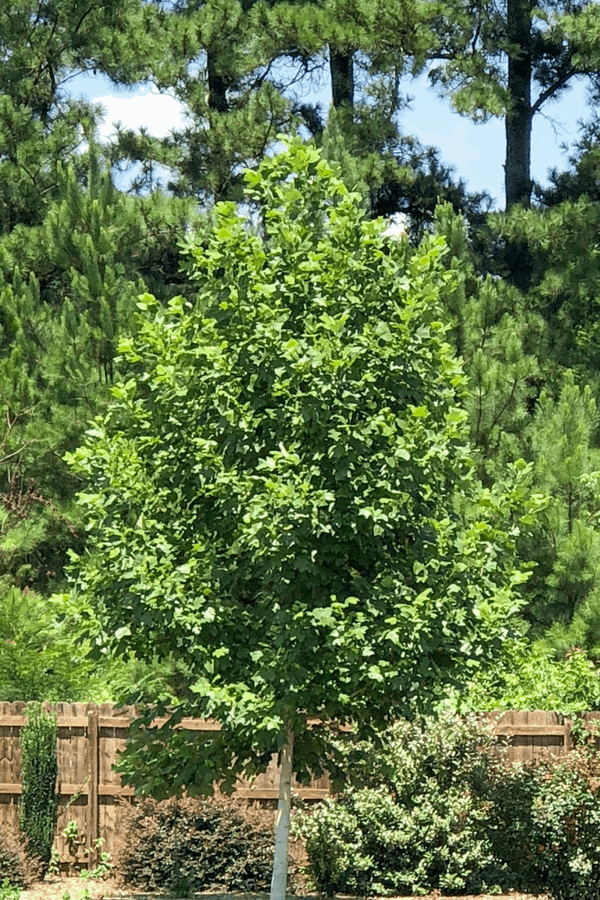 Fast growing privacy trees - tulip poplar