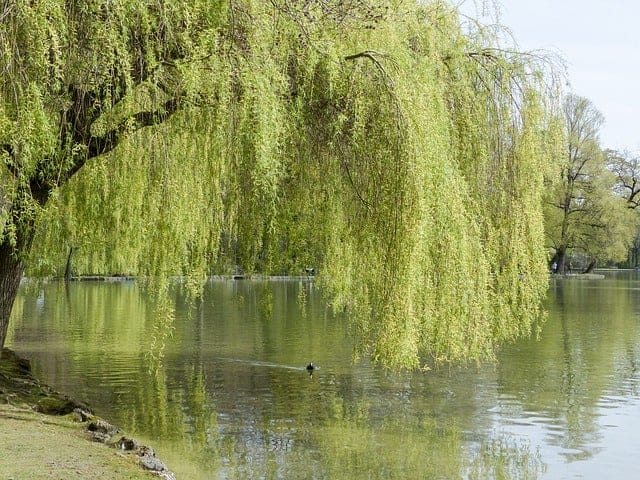 Fast growing privacy trees - willow tree